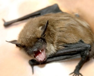 Bat Trapping and Removal in Baltimore, MD
