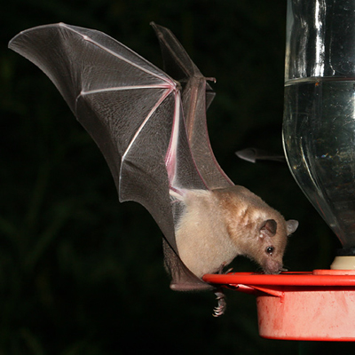 Bat Trapping, Removal and Exclusion