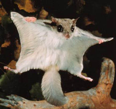 Flying Squirrel Trapping and Removal