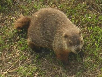 Groundhog or Woodchuck Trapping, Removal and Exclusion