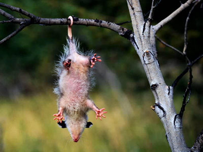 Opossum Trapping and Removal